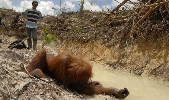 Killing-orangutans
